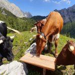 Bildmotiv: Kühe auf der Almwiese
